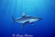Galapagos shark, Carcharhinus galapagensis, off Haleiwa, North Shore, Oahu, Hawaii, USA ( Central Pacific Ocean )