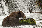 A dominate adult Brown Bear known as 32 Chunk watches for Sockeye Salmon in the far pool at Brooks Falls in Katmai National Park and Preserve September 15, 2019 near King Salmon, Alaska. The park spans the worlds largest salmon run with nearly 62 million salmon migrating through the streams which feeds some of the largest bears in the world.