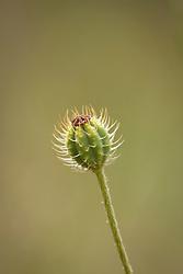 Rough poppy seedhead. Papaver hybridum