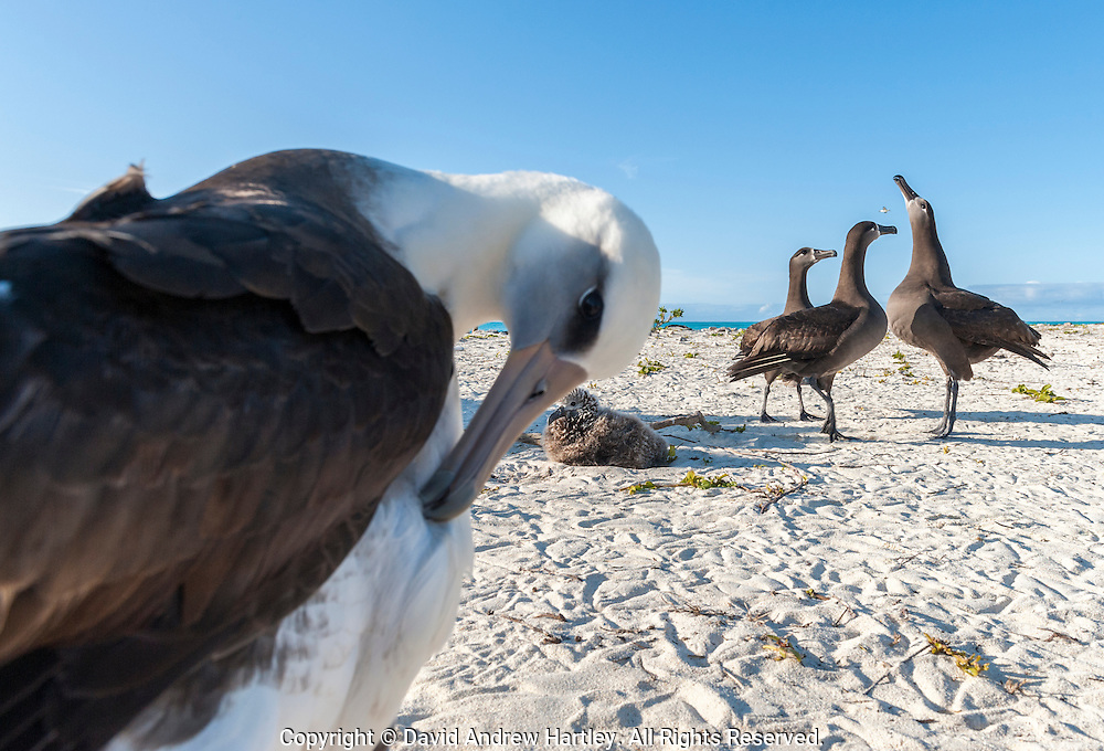 A Laysan Albatross (Phoebastria immutabilis) preens itself whilst three Black-footed Albatross (Phoebastria nigripes) participate in a courtship display..Midway Atoll National Wildlife Refuge.