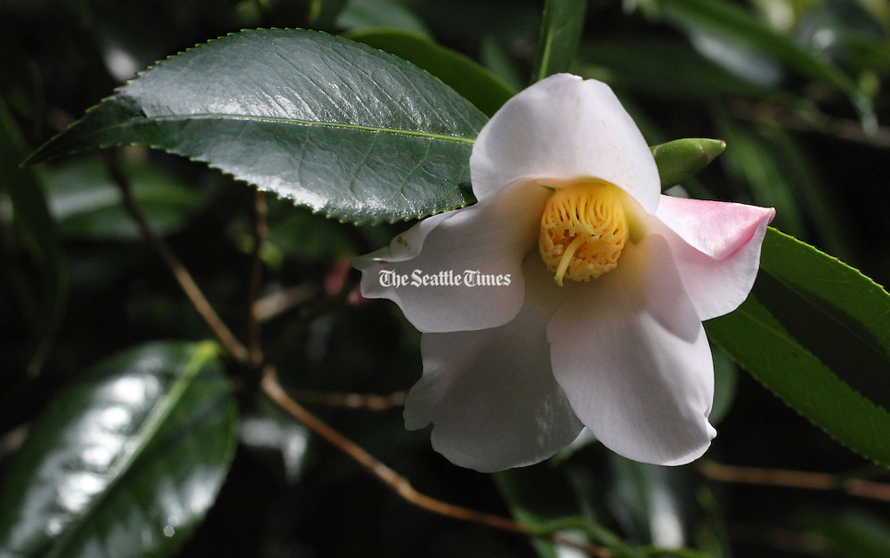 A camellia blossom is a splash of color amid the green. (Alan Berner/The Seattle Times)