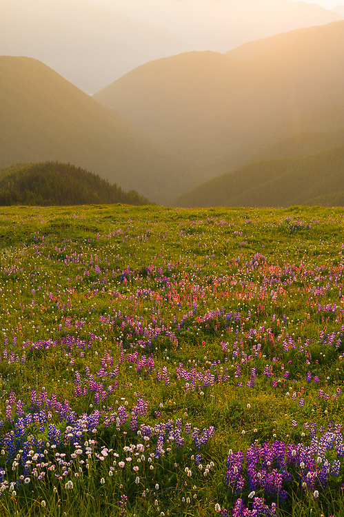 Alpine meadow, evening light, August, Elwha River watershed, view from the Obstuction Point area, Olympic National Park, Washington, USA