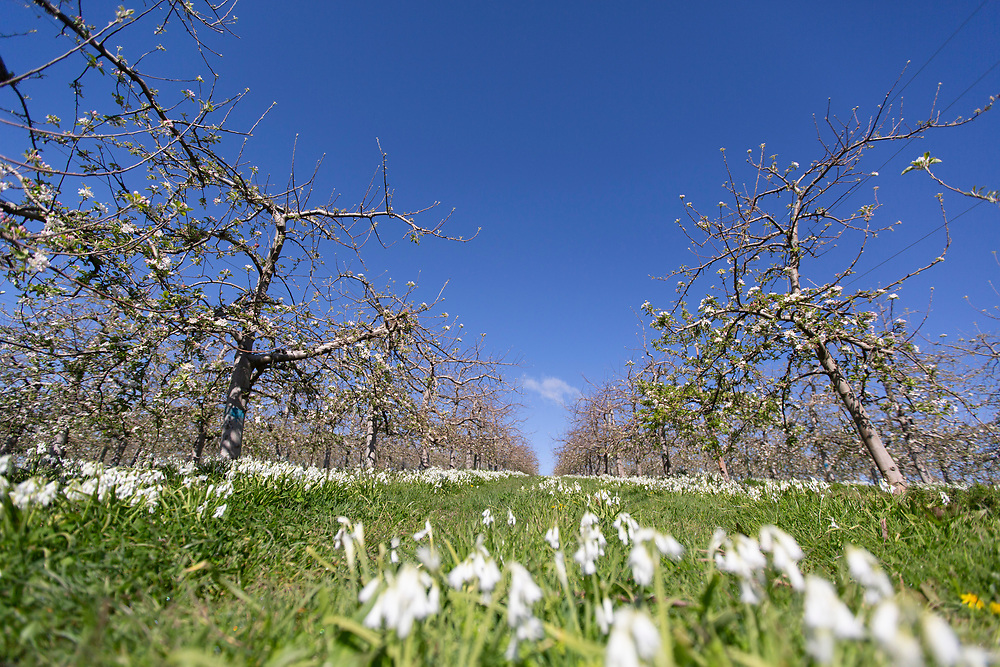 looking down rows of apple trees in blossom with blue sky and wild flowers