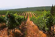 Rows of vine in the vineyard. Lime stone limestone based very white soil, very much stones pebbles rocks. Zilavka grape variety. One of their best vineyards with very poor soil on a hilltop mountain near Citluk and Zitomislic. Vinarija Citluk winery in Citluk near Mostar, part of Hercegovina Vino, Mostar. Federation Bosne i Hercegovine. Bosnia Herzegovina, Europe.