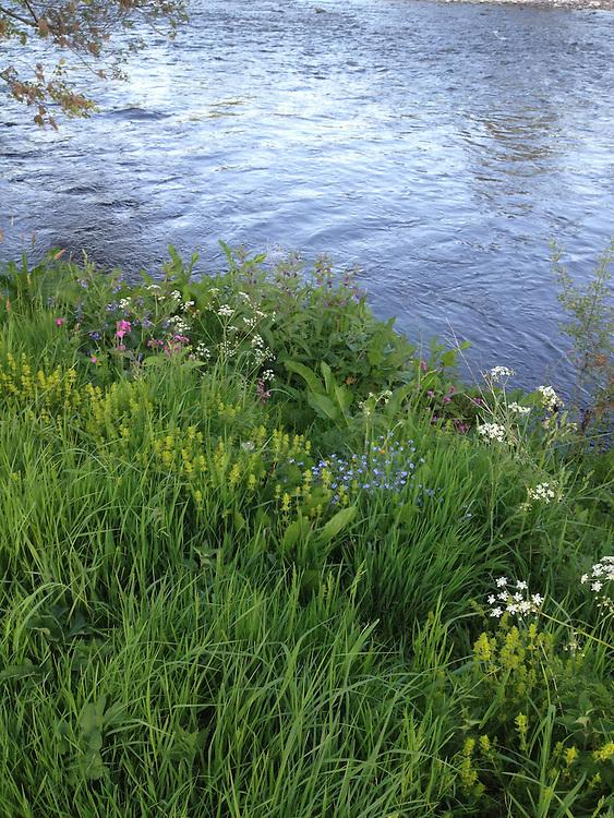 Flowers by the River Tweed, near Selkirk