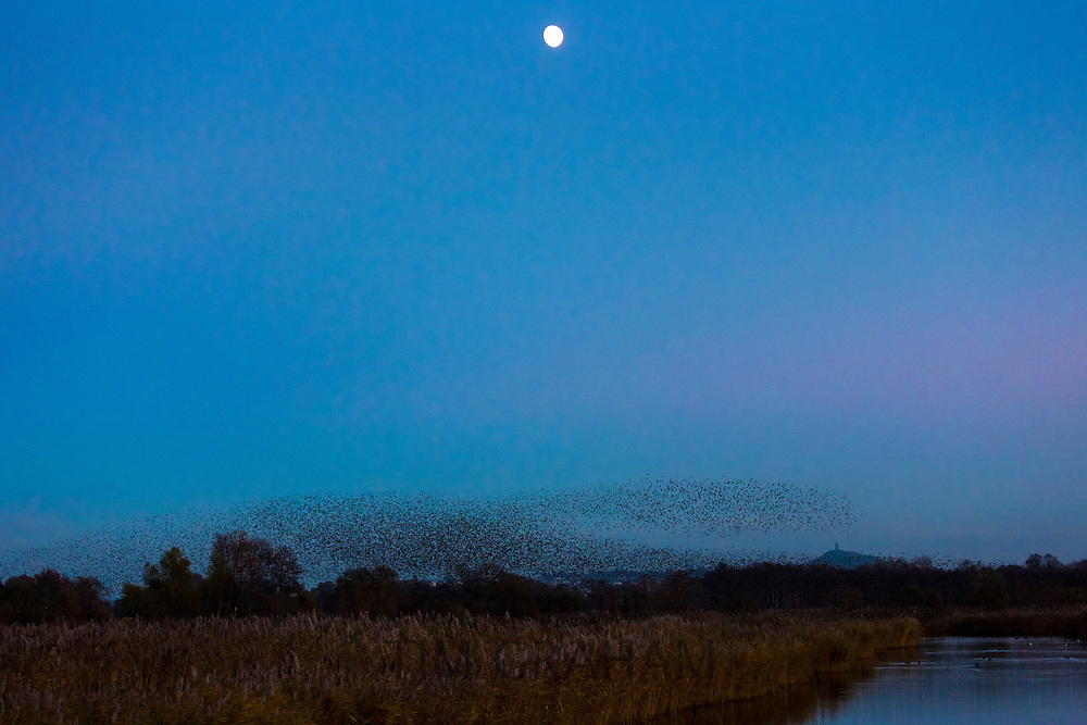Spectacular murmuration of starlings display thousands of birds moonlight flight cloud pattern before roosting in marshland UK