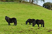 Shetland ponies grazing in the Doone Valley, Exmoor in North Devon, UK