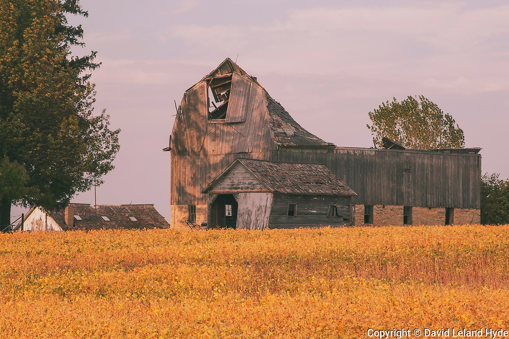 Barn Skeletons in Soybean Field Near Oslo, Minnesota, Fall Leaves, Shade Trees, Heartland Barns, Midwest farms, Minnesota Plains