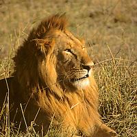 Africa, Kenya, Maasai Mara. Lion at sunset.