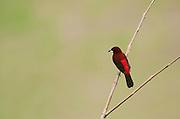 Crimson backed Tanager, Ramphocelus dimidiatus, Panama, Central America, Gamboa Reserve, Parque Nacional Soberania, male perched in tree,