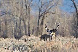 Trophy Mule Deer Buck, Jackson Hole, Wyoming