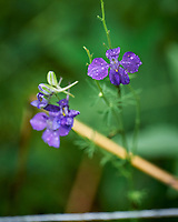 Larkspur. Image taken with a Leica SL2 camera and 90-280 mm lens
