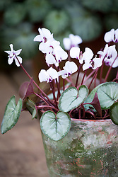 Cyclamen coum Silver leaf form in a terracotta pot