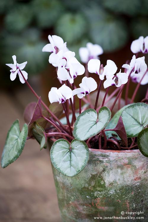 Cyclamen coum Silver leaf form in a terracotta pot