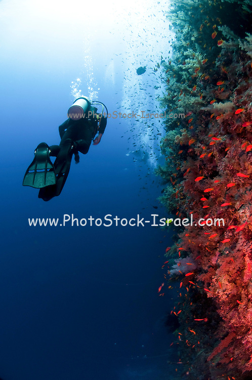 Scuba Divers pass by a coral reef photographed at Ras Mohammed National Park, Red Sea, Sinai, Egypt,