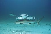 Caribbean reef shark, Carcharhinus perezi, with bar jacks, Caranx ruber, Walker's Cay, Abaco Islands, Bahamas ( Western Atlantic Ocean )