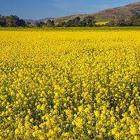 Mustard flowers bloom in a field near Pescadero, California.