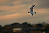 Black-headed Gull - Larus ridibundus - winter immature