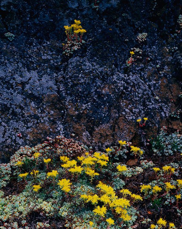 Stonecrop wildflowers, spring, Hurricane Ridge area, Olympic National Park, Washinton, USA