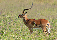 Two Red-billed Oxpeckers, Buphagus erythrorhynchus, search for insects on the back of a Common Impala, Aepyceros melampus melampus, in Lake Nakuru National Park, Kenya