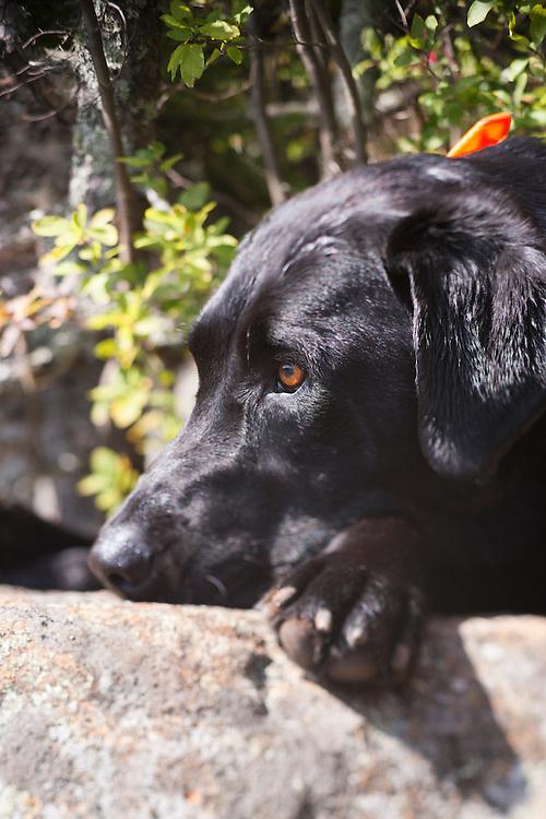 Black Labrador Retriever resting his head on his paws