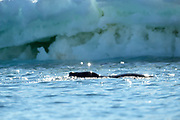A Leopard seal swims close to ice near Esperanza Station on Thursday 15 February 2018.