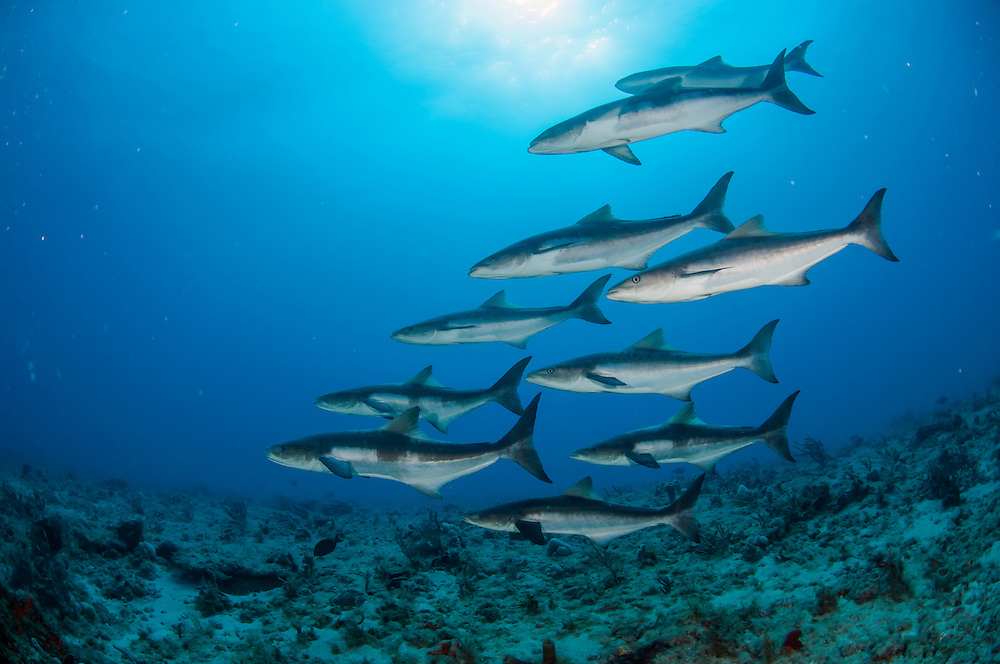 A school of Cobia, rachycentron canadum, swims on a coral reef offshore Palm Beach, Florida, United States.