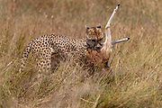Cheetah (Acijonyx jubatus) with a kill in Maasai Mara, Kenya.