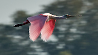 Roseate Spoonbill (Platalea ajaja). Fort De Soto Park. Pinellas County, Florida. Image taken with a Nikon D2xs camera and 80-400 mm VR lens.