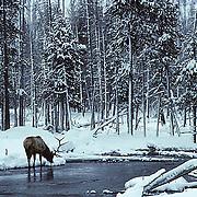 Elk, (Cervus elaphus) bull feeding on vegetation along river. Winter.