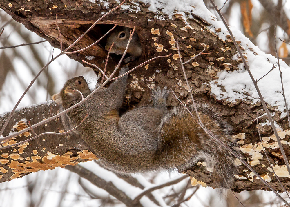 Squirrels at Play, Gallistel Woods, UW-Madison Arboretum, on a snowy day. Photo taken January 14, 2020.