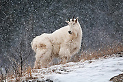 Alert mountain goat standing on a ridge during a winter snow storm along the Snake River Canyon in western Wyoming.