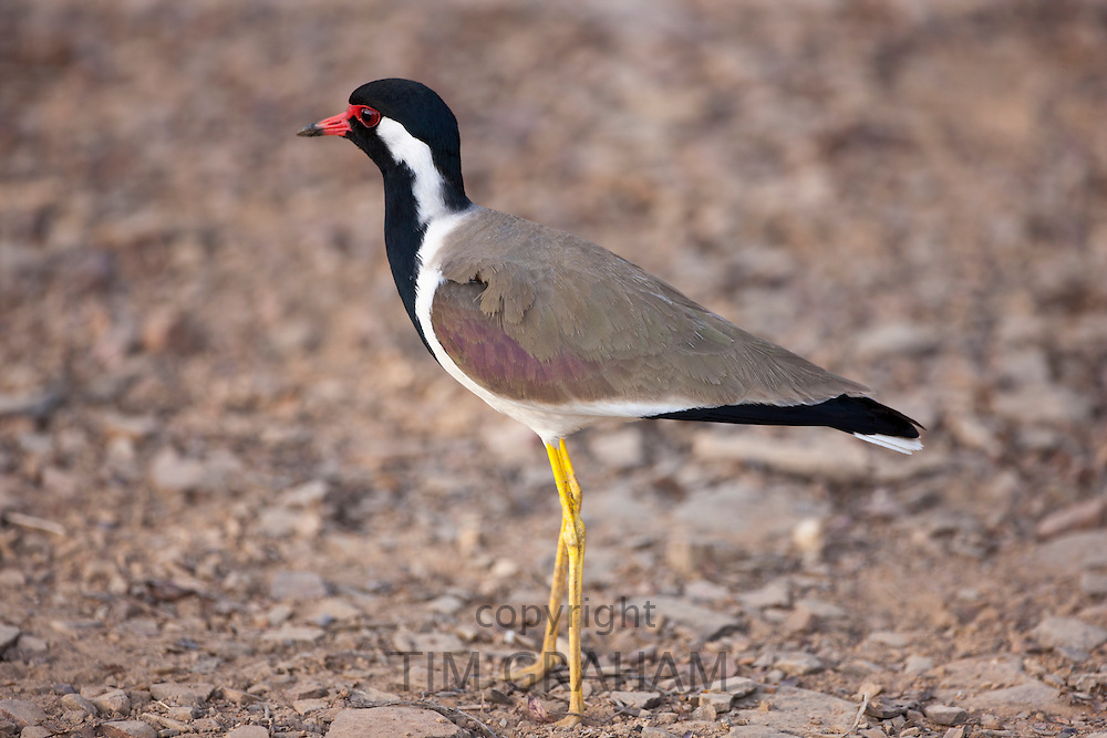 Red Wattled Lapwing, Vanellus indicus, bird in Ranthambhore National Park, Rajasthan, Northern India