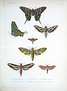 moths of Cube 1838 From the book Histoire physique, politique et naturelle de l'ile de Cuba [Physical, political and natural history of the island of Cuba] by  Sagra, Ramón de la, 1798-1871; Orbigny, Alcide Dessalines d', 1802-1857 Publication date 1838 Publisher Paris : A. Bertrand
