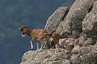 Mouflon/Ovis musimon/two males/Parc naturel regional du Haut-Languedoc/Caroux/France