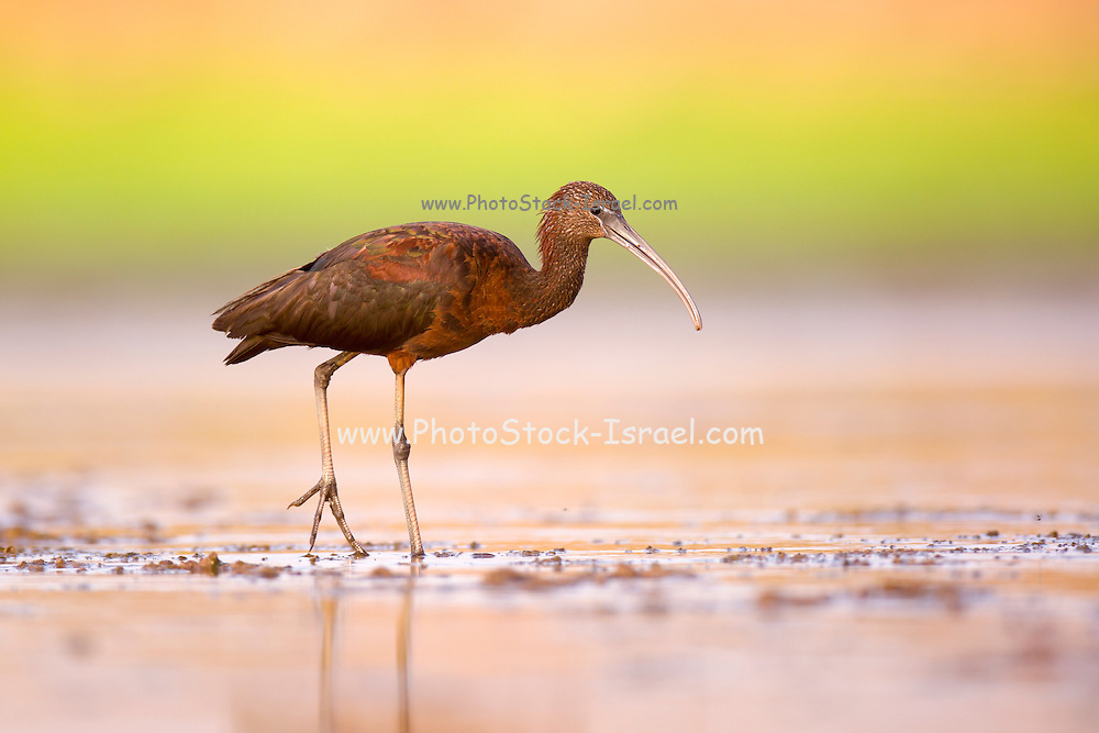 Glossy Ibis (Plegadis falcinellus) feeding on freshwater snails in shallow water. These birds feed mainly on aquatic invertebrates/insects such as freshwater snails, mussels, crabs and crayfish. Photographed at Ein Afek Nature reserve, Israel in August