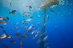 Bigeye jacks, Caranx sexfasciatus, and brown chub or grey sea chub, Kyphosus bigibbus, aggregating around abandoned fishing net offshore, Kona Coast, Big Island, Hawaii, USA, Pacific Ocean