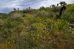 March 27, 2019 - Borrego Springs, California, USA - Golden evening primroses carpet a hillside in Anza-Borrego Desert State Park during the wildflower superbloom following a winter of heavy rains. Cool weather and consistent heavy rainfall has created the perfect conditions for the rebirth of wildflowers throughout Anza-Borrego Desert State Park in San Diego County and other areas of Southern California. (Credit Image: © Stan Sholik/ZUMA Wire)