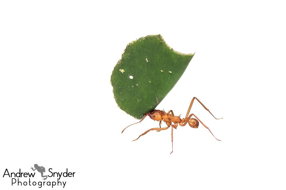 Leaf-cutter ant, Acromyrmex sp., Chenapau, Guyana, March 2014
