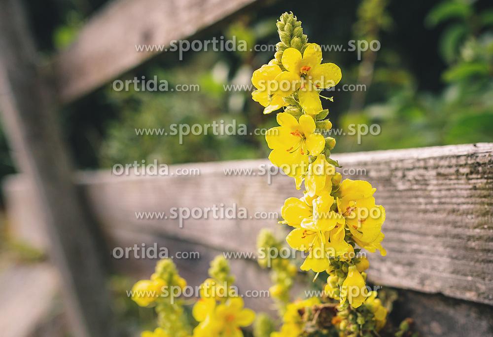 THEMENBILD - Königskerzen (Verbascum) gehören zur Familie der Braunwurzgewächse (Scrophulariaceae) und sind als Heilpflanzen sehr beliebt, aufgenommen am 29. September 2019, Piesendorf, Österreich // King candles (Verbascum) belong to the family of the brown-root family (Scrophulariaceae) and are very popular as medicinal plants on 2019/09/29, Piesendorf, Austria. EXPA Pictures © 2019, PhotoCredit: EXPA/ Stefanie Oberhauser