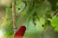 King Bird of Paradise (Cicinnurus regius) male.  Detail of green central tail feathers, red body, and blue feet.