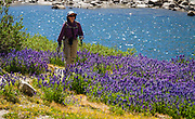 A hiker admires a field of Lupin flowers blooming in purple splendor on Piute Pass Trail (9.7 miles, 2200 ft gain) in John Muir Wilderness, Inyo National Forest, Mono County, California, USA.