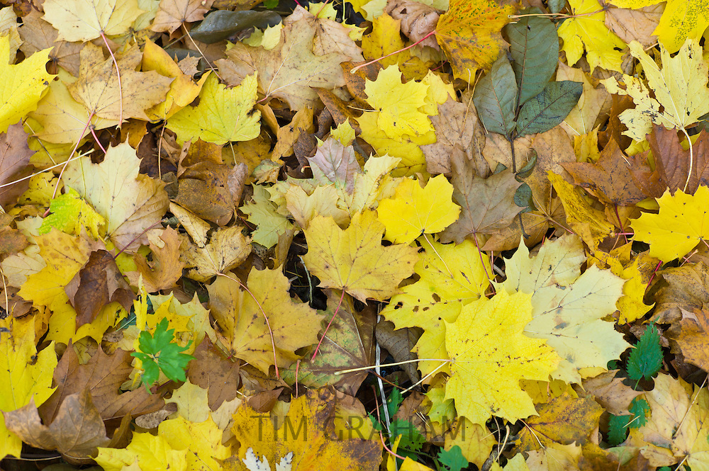 Autumn sycamore leaves on forest floor in Autumn, The Cotswolds, UK