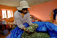 Cocalero Abel Alarcon and his harvest. Yungas norte. BOLIVIA