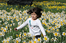 © Licensed to London News Pictures. 24/03/2014<br /> Josepine (age 4)   running through the daffodils in Greenwich Park,London.<br /> Sunny Weather today (24/03/2014) in London as people enjoy Greenwich Park, Greenwich, London.<br /> Photo credit :Grant Falvey/LNP