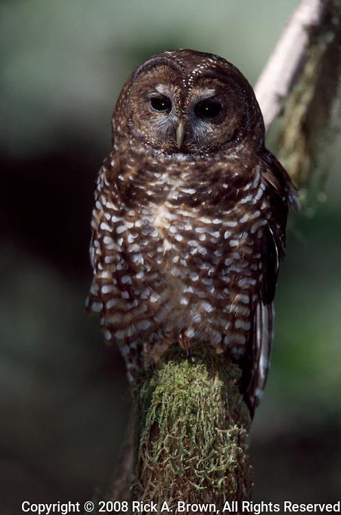Oregon Coast, Northern Spotted Owl (Strix occidentalis)