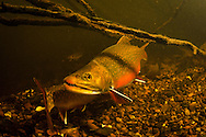 Brook Trout (Spawning Pair)<br />