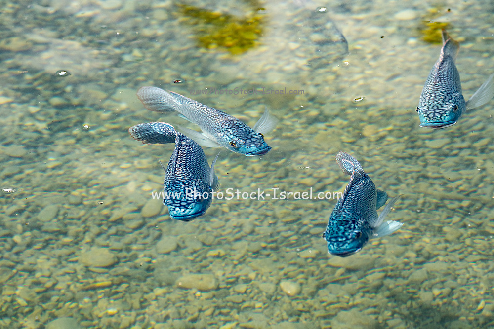 Shoal of blue tilapia (Oreochromis aureus). The blue tilapia is a species of tilapia, a fish in the family Cichlidae, Native to Northern and Western Africa, and the Middle East, through introductions it is now also established elsewhere, including parts of the United States, where it has been declared an invasive species and has caused significant environmental damage. Photographed in Ein Feshka (Einot Tzukim) nature reserve, Israel