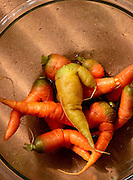 Carrots harvested by students from the garden at Manzo Ecology at Manzo Elementary Schoo will be sold at marketl, Tucson Unified School District, Tucson, Arizona, USA.