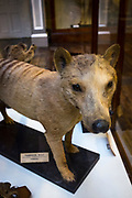 Thylacine: Extinct Tasmanian Tiger in The Dead Zoo - Natural History Museum, Dublin, Ireland